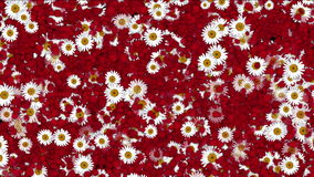 4k Rose petals daisy shaped wreath wedding Valentine`s Day background. 6781_4k stock footage