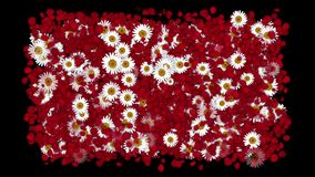 4k Rose petals daisy shaped wreath wedding Valentine`s Day background. 6778_4k stock footage