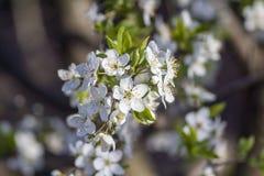 K?rsb?rsr?da blomningar V?r tr?dg?rds- green K?rsb?rsr?d blomning vitt Tr?det blommar Makro royaltyfria bilder