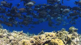 4k School of Black Snapper on a coral reef stock footage