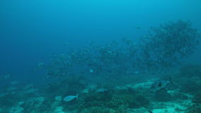 4k School of Black Snapper on a coral reef stock video footage