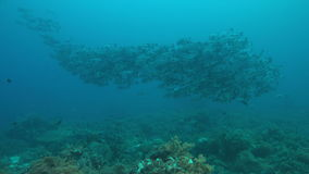 4k School of Black Snapper on a coral reef stock video