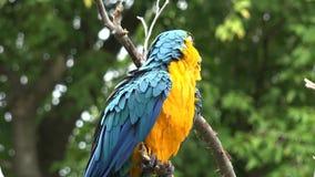 4k se cierran encima de tiro del género tropical neo hermoso gracioso pájaro colorido del macaw del loro del ara del plumaje con  almacen de metraje de vídeo
