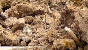 4K se cierran encima del trabajo en equipo del tiro de la hormiga que mueve encendido la tierra seca del país metrajes