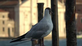 4K. Seagull on jetty, mooring pole in Venice Grand canal, Italy.  stock video footage