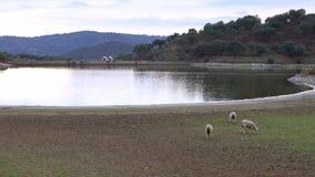 4K Sheeps som tycker om i, betar nära till en sjö av Extremadura, Spanien lager videofilmer