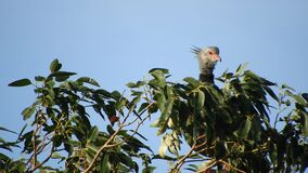 Southern Screamer raises head looks right on top of tree