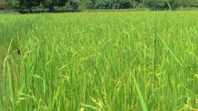Gimbal stedicam shot of ears of rice in the rice field. Close-up of dry husked seeds on rice plant. Beautiful ripe crops stock video footage