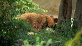 4K, sluit van wilde Bruin dragen omhoog lopen vrij door bomen bij het bos stock video