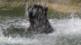 4K slut upp av brunbjörnen som badar i vattenfall till förnyat Ursusarctos lager videofilmer