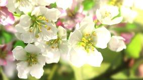 4k som blomstrar Apple-trädet