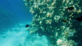 4k som f?rbluffar under vattenl?ngd i fot r?knat av undervattens- liv runt om korallrees H?rlig seascape i R?da havet arkivfilmer