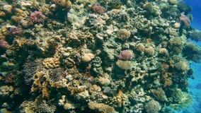 4k som f?rbluffar under vattenl?ngd i fot r?knat av undervattens- liv runt om korallrees H?rlig seascape i R?da havet lager videofilmer