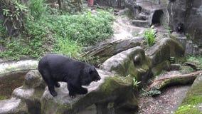 4k som vuxen människaFormosa en svart björn som går på, vaggar på zoo per varm sommar för dag stock video