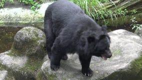 4k som vuxen människaFormosa en svart björn som går på, vaggar på zoo per varm sommar för dag arkivfilmer