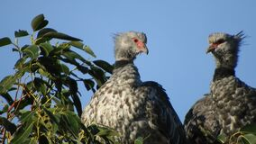 4k 2 southern screamers preening popping up heads