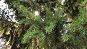 4k strzał piękna zielona conifer gałąź z światłem słonecznym zbiory wideo