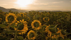 4K sunrise on sunflower field time lapse stock footage