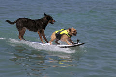 K9 surfant Images stock