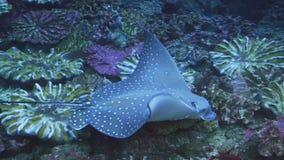 4K Swimming Stingray stock footage