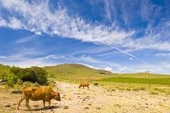 kąta krów pole szeroki Fotografia Royalty Free