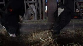 4K tamdjur som äter hö i ladugård Nötkreaturkor som betar på modern lantgård arkivfilmer