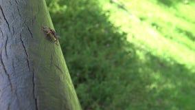 4K Tessaratoma papillosa chodzi nad drewnem w parku Taipei miasto zdjęcie wideo