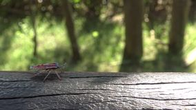 4K a Tessaratoma papillosa walking over the wood in the park of Taipei city stock footage