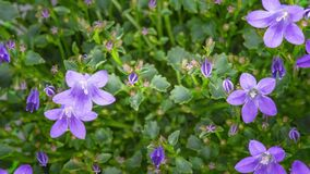 4K Time Lapse Campanula flowers