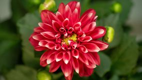 4K Time lapse of blooming red flower Dahlia stock video