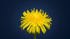 4K Time Lapse of Dandelion flower. Open. Yellow Flower head of dandelion disclosed. Macro shot on dark blue background. Timelapse Spring scene in studio stock video footage