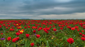 4K Timelapse. Clouds over a field of red tulips stock video