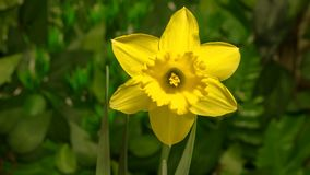 Daffodil flower opening. 4K timelapse daffodil narcissus flowers blooming flourishing on natural background stock footage