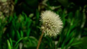 Dandelion flower opening. 4K timelapse Dandelion flowers flourishing on nature background stock video footage