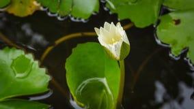 4K Timelapse, Lotosowy kwiat kwitnie w rybim pucharze zbiory wideo