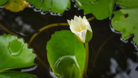 4K Timelapse, Lotus flower blossoming in fish bowl. stock video