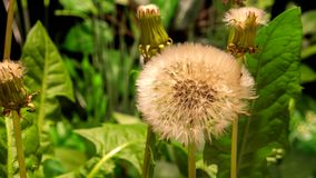 Dandelion flowers opening. 4K timelapse one Dandelion flowers flourishing on nature background stock footage