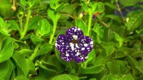 Petunia Night sky flower opening stock video footage