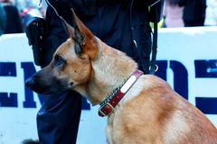 K-9 in Times Square. K-9 on duty during the Super Bowl Boulevard event on Broadway-Times Square, New York, on January 31, 2014 Stock Photo