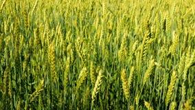 4k tiró de campo de trigo verde en día de verano soleado almacen de metraje de vídeo