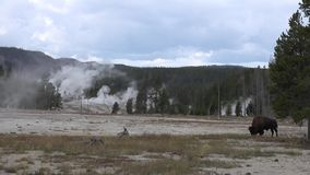 4k tiró de los géiseres viejos del parque nacional de Yellowstone y de los paisajes hermosos de la naturaleza almacen de metraje de vídeo