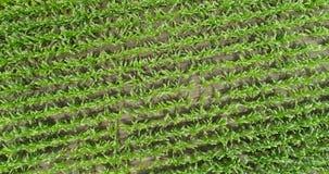 4K trutnia anteny gospodarstwa rolnego kukurudza Wiosłuje Zasięrzutny Prosty Up zbiory wideo