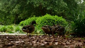 4k Trzy brown kaczki foraging w parku zdjęcie wideo