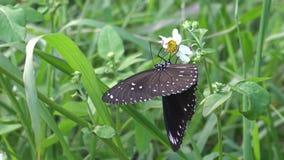 4K tulliolus van vlindereuploea, de dwergkraai of kleine bruine kraai in Taiwan stock footage