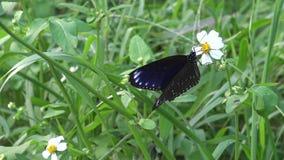 4K tulliolus van vlindereuploea, de dwergkraai of kleine bruine kraai in Taiwan stock video
