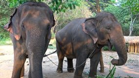 4K Two Asian elephants are eating bamboo in a camp of tropical forest stock video footage