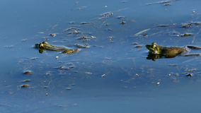 Two frogs laying on the water and one have cheeks. 4k - Two frogs laying on the water and one have cheeks. The action in the real time stock video