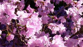 4K UHD slow panning closeup footage of pink or violet azalea rhododendron flowers. Daytime, natural light stock video