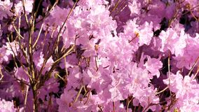 4K UHD slow panning closeup footage of pink or violet azalea rhododendron flowers. Daytime, natural light stock video footage