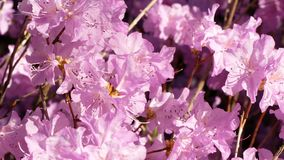 4K UHD slow panning closeup footage of pink or violet azalea rhododendron flowers. Daytime, natural light stock footage